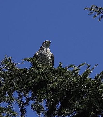 野鳥(1380)ーオオタカ、そろそろ