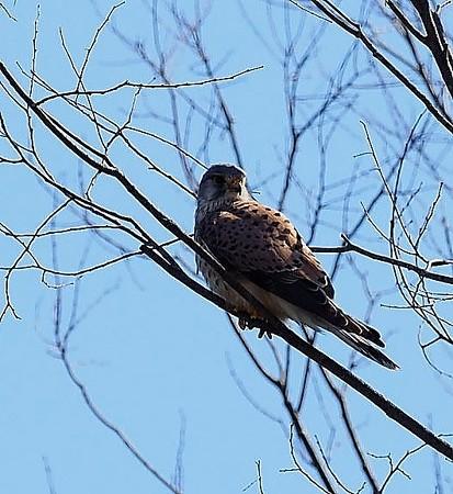 野鳥(1381)ーチョウゲンボウ、これから