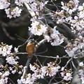 カワセミ  満開の桜と
