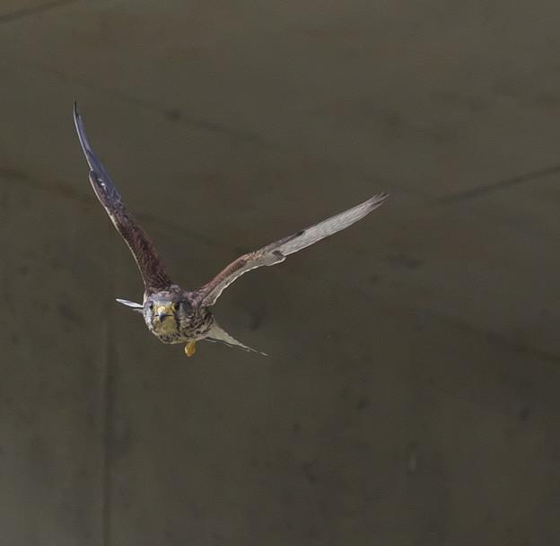 Photos: チョウゲンボウ 飛翔4