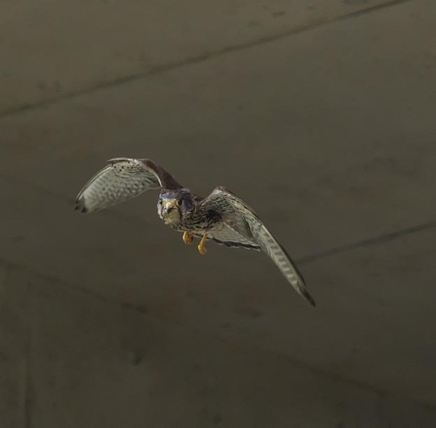 Photos: チョウゲンボウ 飛翔2