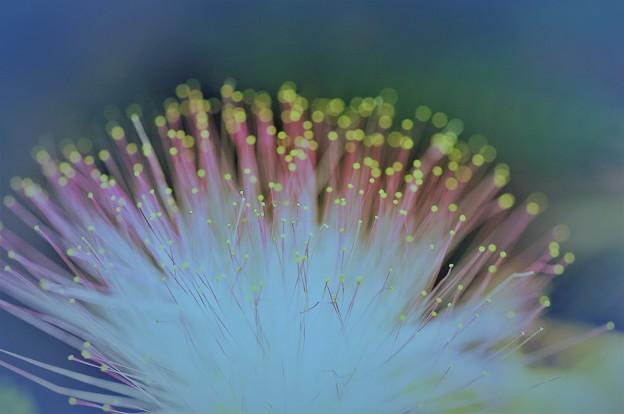ねむの花が咲いたよ。。。