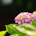 写真: 紫陽花1
