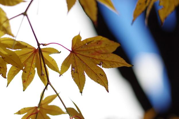 北大イチョウ並木その5
