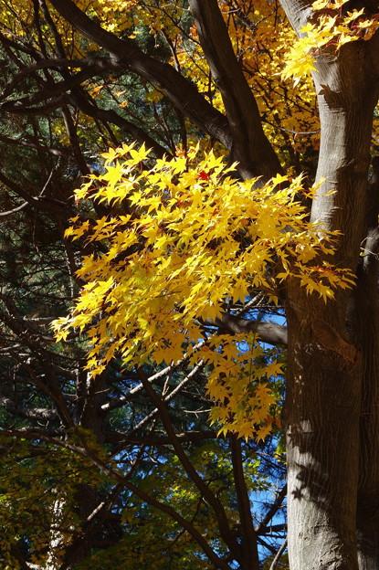 北大イチョウ並木その14