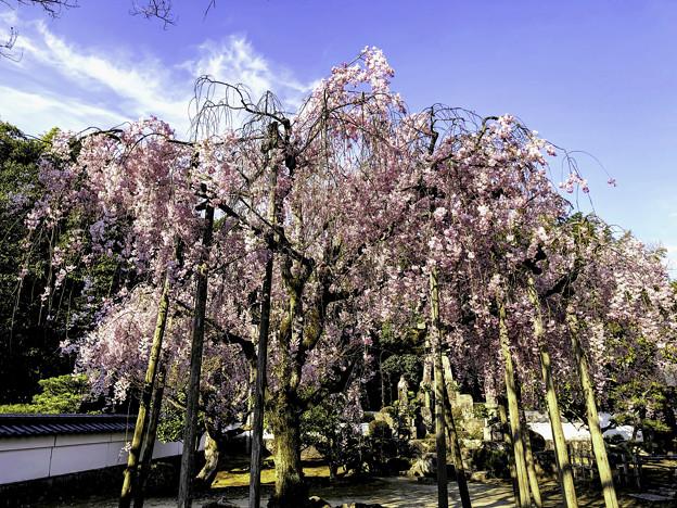 虎渓山永保寺 保寿院の枝垂れ桜 IMG_6026-3
