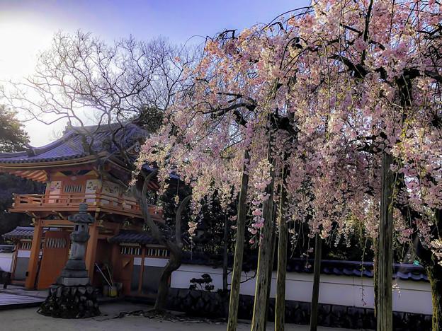 虎渓山永保寺 保寿院の枝垂れ桜 IMG_6029-3