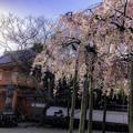 Photos: 虎渓山永保寺 保寿院の枝垂れ桜 IMG_6029-3