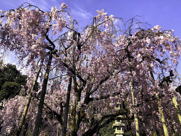 虎渓山永保寺 保寿院の枝垂れ桜 IMG_6033-3