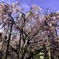 Photos: 虎渓山永保寺 保寿院の枝垂れ桜 IMG_6033-3