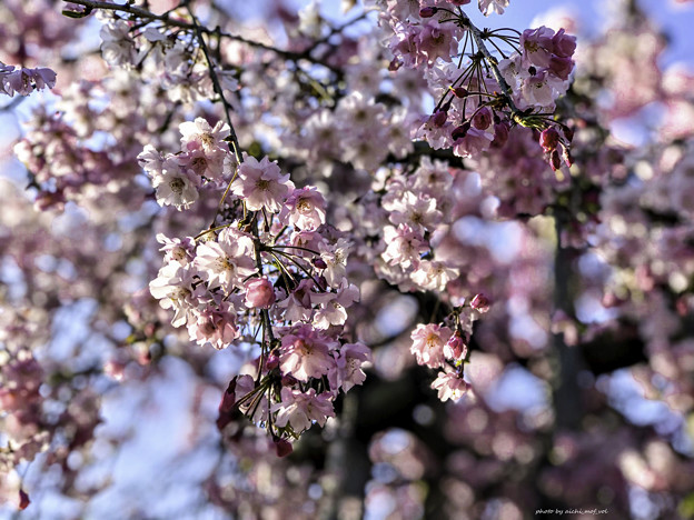 虎渓山永保寺 保寿院の枝垂れ桜 IMG_6031-3