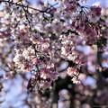 Photos: 虎渓山永保寺 保寿院の枝垂れ桜 IMG_6031-3