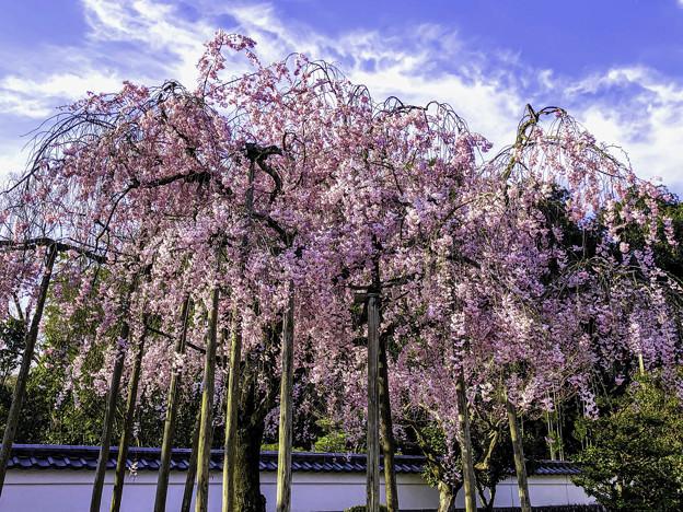 虎渓山永保寺 保寿院の枝垂れ桜 IMG_6032-3