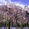 Photos: 虎渓山永保寺 保寿院の枝垂れ桜 IMG_6032-3