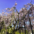Photos: 虎渓山永保寺 保寿院の枝垂れ桜 IMG_6028-3