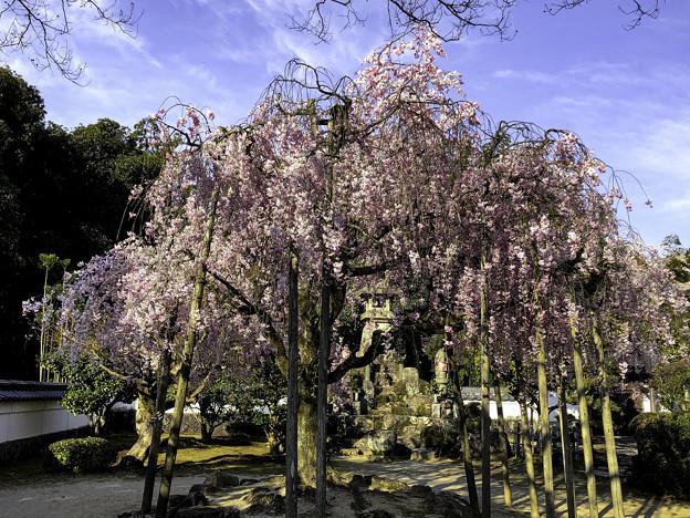 虎渓山永保寺 保寿院の枝垂れ桜 IMG_6034-3