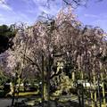 Photos: 虎渓山永保寺 保寿院の枝垂れ桜 IMG_6034-3