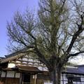 Photos: 虎渓山永保寺 大イチョウ IMG_6040-3