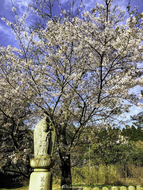 虎渓山永保寺 徳林院 桜 IMG_6066-3