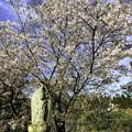 Photos: 虎渓山永保寺 徳林院 桜 IMG_6066-3
