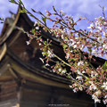 Photos: 虎渓山永保寺 桜 IMG_6064-3