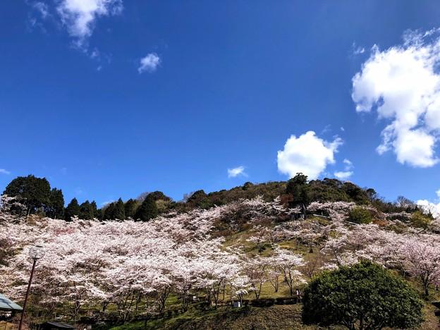 桜@可児市 蘭丸ふる里の森 IMG_5922