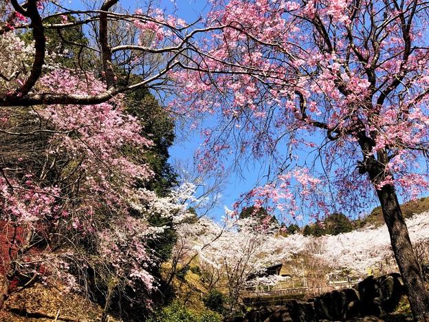 桜@可児市 蘭丸ふる里の森 IMG_6005