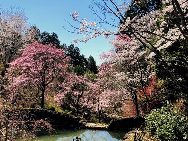 桜@可児市 蘭丸ふる里の森 IMG_6001