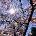 Photos: 桜@可児市 蘭丸ふる里の森 IMG_5985