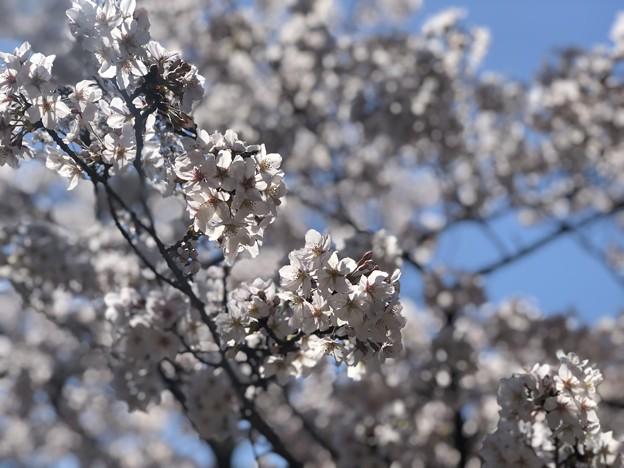 桜@可児市 蘭丸ふる里の森 IMG_5983
