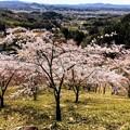 Photos: 桜@可児市 蘭丸ふる里の森 IMG_5976