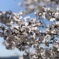 Photos: 桜@可児市 蘭丸ふる里の森 IMG_5975