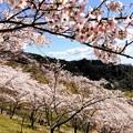 Photos: 桜@可児市 蘭丸ふる里の森 IMG_5974
