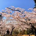 Photos: 桜@可児市 蘭丸ふる里の森 IMG_5972