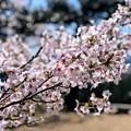 桜@可児市 蘭丸ふる里の森 IMG_5971