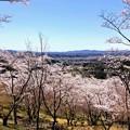 Photos: 桜@可児市 蘭丸ふる里の森 IMG_5969