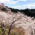 Photos: 桜@可児市 蘭丸ふる里の森 IMG_5982