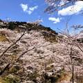 Photos: 桜@可児市 蘭丸ふる里の森 IMG_5990