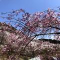 Photos: 桜@可児市 蘭丸ふる里の森 IMG_5994