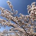 Photos: 桜@可児市 蘭丸ふる里の森 IMG_5980