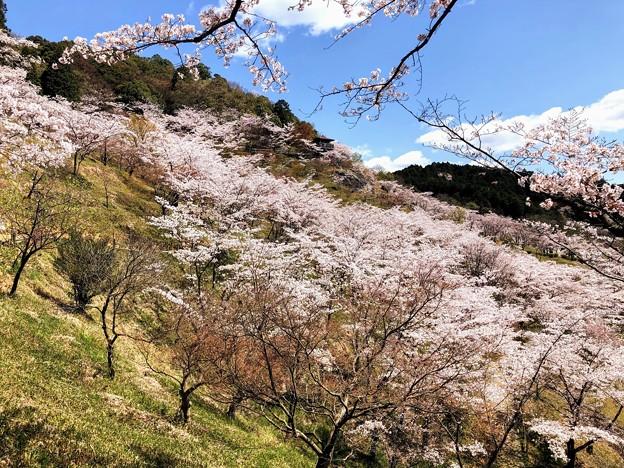 Photos: 桜@可児市 蘭丸ふる里の森 IMG_5989