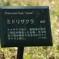 緑桜の説明板