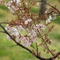 Photos: 白桜