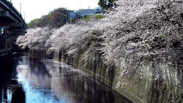江戸川橋の桜