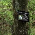 Photos: ミロバランスモモの木