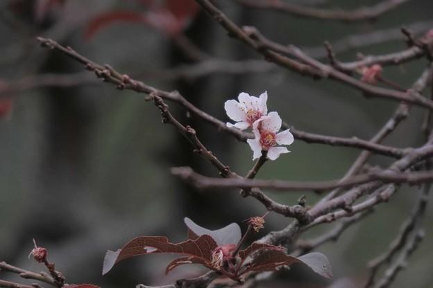 Photos: 返り咲き