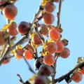 Photos: 豆柿