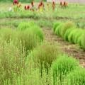畑のキャビア