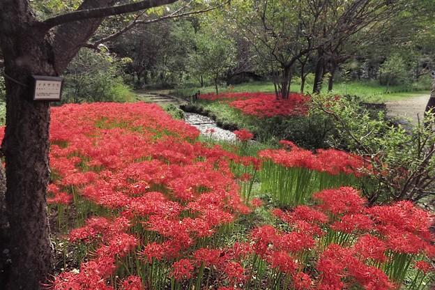 小川の彼岸花畑