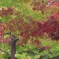 Photos: 琥珀の林